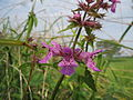 20130907Stachys palustris2.jpg