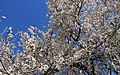 2013 Spring blossoms of Shahr-e Kord 10.jpg