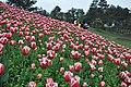 2014-04-04 石象湖 郁金香 liuzusai - panoramio (57).jpg