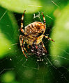 2014-09-08 13-12-37 Araneus-diadematus.jpg