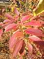 2014-10-29 13 06 11 Forsythia foliage during autumn in Ewing, New Jersey.JPG