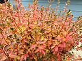 2014-12-20 13 20 43 Leaf coloration of Azalea cultivar 'Rosebud' during early winter along Terrace Boulevard in Ewing, New Jersey.JPG