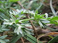 20140317Anthriscus sylvestris1.jpg