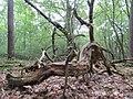 20140726Carpinus betulus1.jpg
