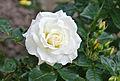 2014 Kwiat róży.jpg
