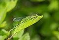 2015.06.26.-02-Vogelstangsee Mannheim--Grosse Pechlibelle-Weibchen.jpg