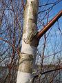 20150309Betula pubescens8.jpg