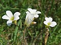 20160507Saxifraga granulata1.jpg