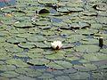 20160610Nymphaea alba1.jpg