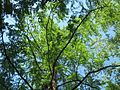 20160624Metasequoia glyptostroboides3.jpg