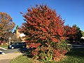 2017-11-10 15 16 03 Crape Myrtle in late autumn at the intersection of Kinross Circle and Stone Heather Drive in the Chantilly Highlands section of Oak Hill, Fairfax County, Virginia.jpg