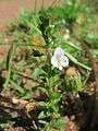 20170521Veronica serpyllifolia2.jpg