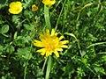 2018-05-13 (233) Tragopogon pratensis (Jack-go-to-bed-at-noon) at Bichlhäusl in Frankenfels, Austria.jpg