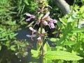 20180720Stachys palustris1.jpg