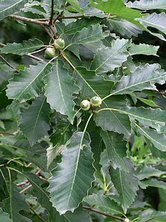 <i>Quercus muehlenbergii</i> species of plant