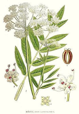 Breitblättriger Merk (Sium latifolium), Illustration