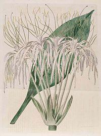 265 Hymenocallis tubiflora.jpg