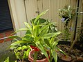 9639Ornamental plants in the Philippines 01.jpg