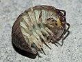 A-granulatum (Alvesgaspar) PD-original C ventral.jpg