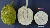 Fruit of Artocarpus altilis (HART 49 MEIN POHNSAKAR)