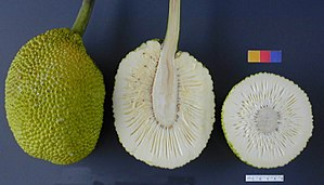 Breadfruit - The fruit of the breadfruit tree - whole, sliced lengthwise and in cross-section