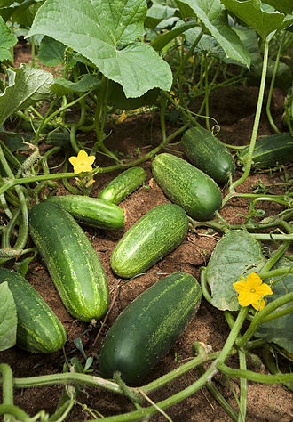Cucumber - Cucumbers growing on vines