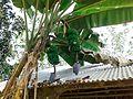 A Banana Tree.jpg