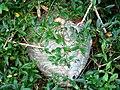 A Euro-wasp nest - Pendomer - geograph.org.uk - 1431972.jpg