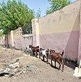 A Line of Goats.jpg