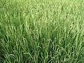 A aerial paddy field.JPG