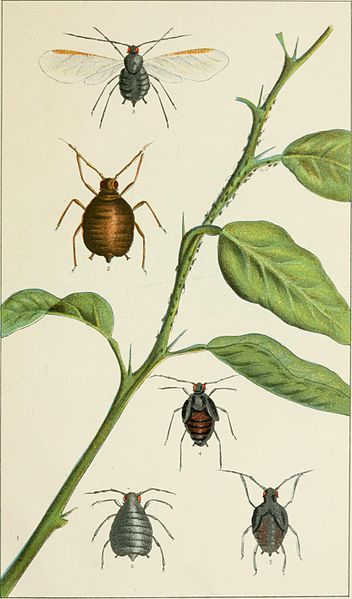 drawing of pests in victoria Australia