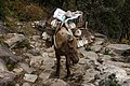 A horse loaded with chickens at Annapurna Conservation Area, Nepal.jpg