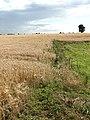 A large field of barley - geograph.org.uk - 919478.jpg
