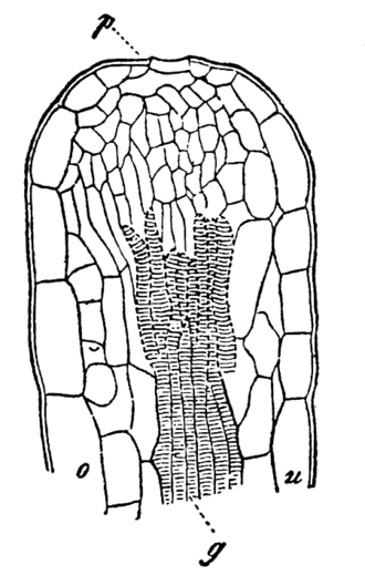 Hydathode - A section of hydathode in the leaf of Primula sinensis (Brockhaus and Efron Encyclopedic Dictionary)