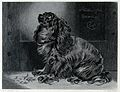 A setter sitting looking towards the left. Steel engraving b Wellcome V0020841.jpg