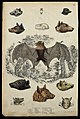 A tonga bat is shown surrounded by the heads, skulls and tee Wellcome V0020923ER.jpg