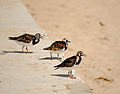 A trio of Ruddy Turnstone (5674756388).jpg