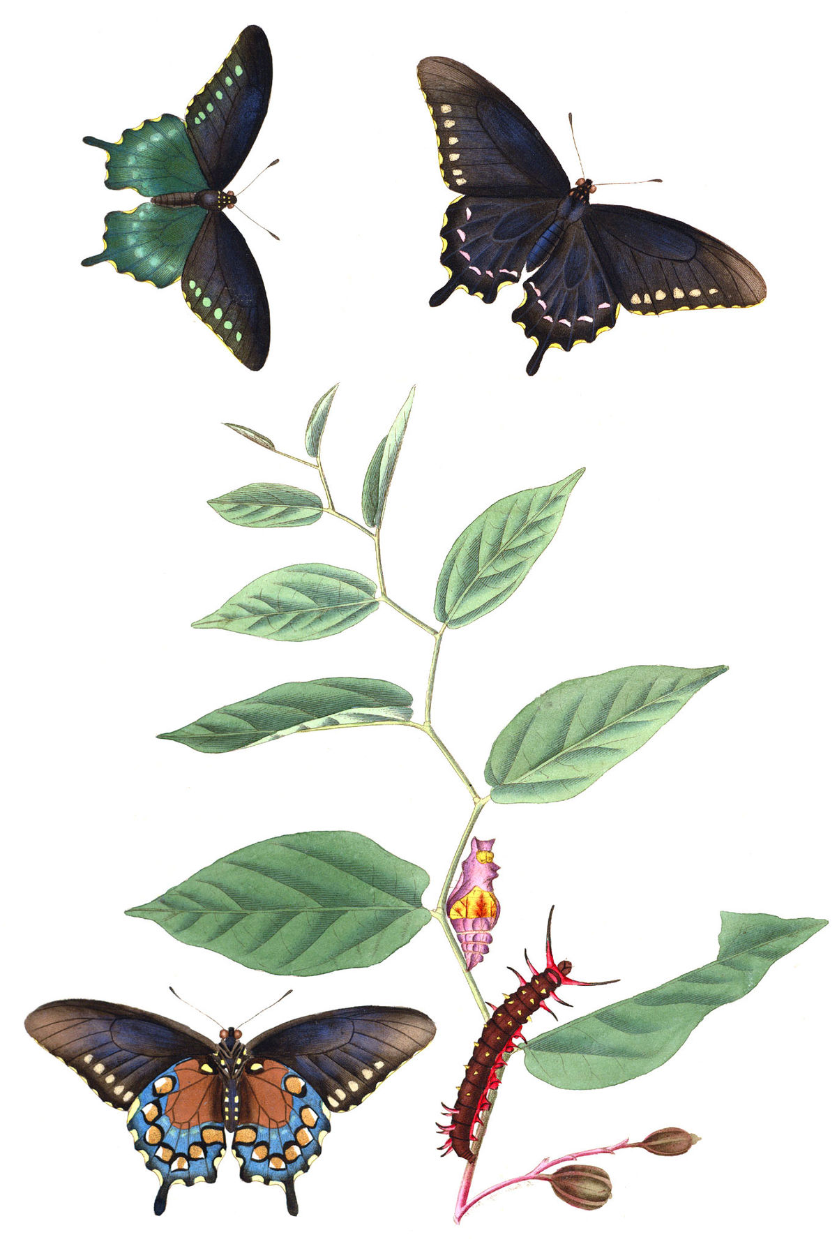 aristolochia serpentaria
