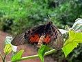 Abdera Acraea (Acraea abdera eginopsis) (20942072823).jpg