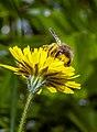 Abeille se gorgeant de pollen.jpg