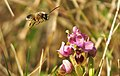 Abeja y orquídea 02 - bee and orchid (2353521466).jpg