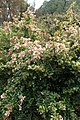 Abelia × grandiflora 'Frances Mason' kz1.jpg