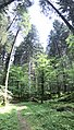Abies alba Cansiglio Forest Italy.jpg