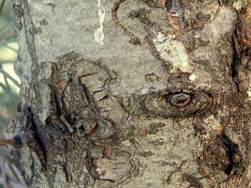 File:Abies concolor (12).JPG