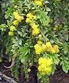 Acacia cultriformis 1.jpg