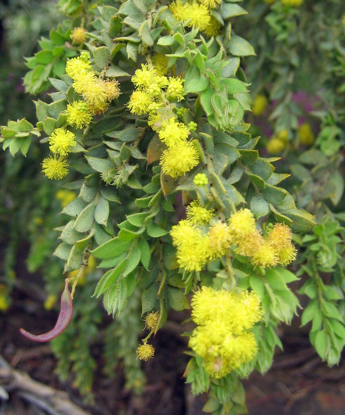Acacia Cultriformis Vikipediya