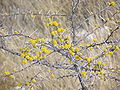 Acacia etosha.JPG