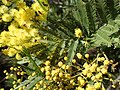 Acacia filicifolia.jpg