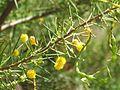 Acacia tetragonophylla.jpg