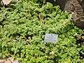 Acaena myriophylla - Palmengarten Frankfurt - DSC01898.JPG